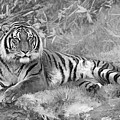 Takin It Easy Tiger Black And White by Wes and Dotty Weber