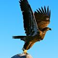 Taking Flight  by Steven Bachmann