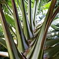 Talipot Palm by Samantha Glaze