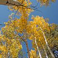 Tall Aspen by Susan Westervelt