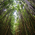 Tall Bamboo by Keith Ducker