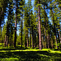 Tall Forest by Grant Bolei