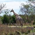 Tall Giraffe by Carol  Bradley