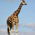 Tall Giraffe In A Field Fota Ireland by Pierre Leclerc Photography