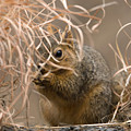 Tall Grasses Make Up A Fox Squirrels by Joel Sartore