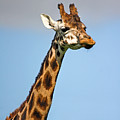 Tall Necked Giraffe by Pierre Leclerc Photography