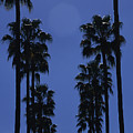 Tall Palm Trees In A Row by Stacy Gold