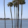 Tall Palms by Carol Groenen