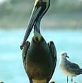 Tall Pelican by Susanne Van Hulst