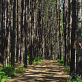 Tall Pine Lined Path by Alice Markham