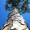 Tall Pine Tree In Summer by Camryn Zee Photography