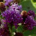 Tall Purple Ironweed  by Shelli Fitzpatrick