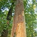 Tall Tree by Mark Battaglia
