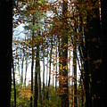 Tall Trees by Cindy Gacha