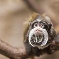 Tamarin Monkey 1 by John Brueske