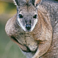 Tamma Wallaby by Greg Vaughn - Printscapes