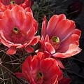 Tangerine Cactus Flower by Phyllis Denton
