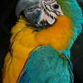 Tango, The Blue And Gold Macaw by David Anderson