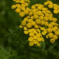 Tansy by The Stone Age