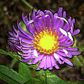 Tansyleaf Aster by Donna Brown