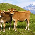 Taranaki, Dairy Cows by Himani - Printscapes