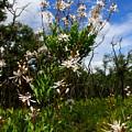 Tarflower Blooming by Barbara Bowen