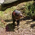 Tasmanian Devil 2 by Tania Read