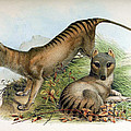 Tasmanian Tiger, Extinct Species by Biodiversity Heritage Library