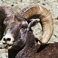 Taunting Bighorn by Mark Kiver