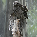 Tawny Frogmouth With It's Eyes Closed And Wing Extended by DejaVu Designs