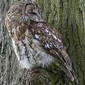 Tawny Owl by Chris Smith