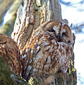 Tawny Owls by Bob Kemp