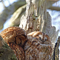 Tawny Owls In Love by Bob Kemp
