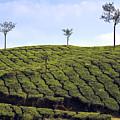Tea Planation In Kerala - India by Joana Kruse