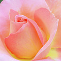 Tea Rose-elle  by Regina Geoghan