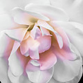 Tea Rose by Heather Joyce Morrill