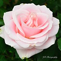 Tea Rose In Pink by Jeannie Rhode