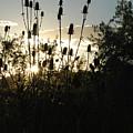 Teasel Sunset Glow by Katherine Nutt