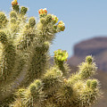 Teddy Bear Cholla Cactus With Flower by Amy Sorvillo