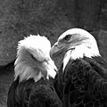 Telling Eagle Secrets Black And White by Adam Jewell