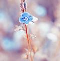 Tender Forget-me-not Flower by Oksana Ariskina