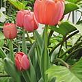 Tender Tulips by Elizabeth Duggan
