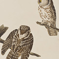 Tengmalm's Owl by John James Audubon