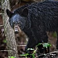 Tennessee Black Bear by Ronald Lutz