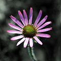 Tennessee Cone Flower by Angela Ford