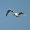 Tern Flight by Al Powell Photography USA