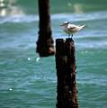 Tern Gulfstream Florida by Michelle Constantine