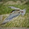 Tern by John Kearns