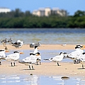 Terns At Fort Myers by Mary Ann Artz