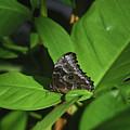 Terrific Eyespots On A Owl Butterfly On Leaves by DejaVu Designs